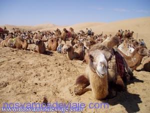 camello gobi