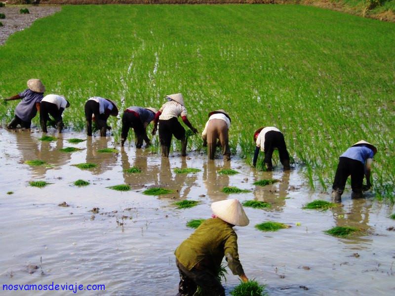 Plantando arroz en el delta del Mekong