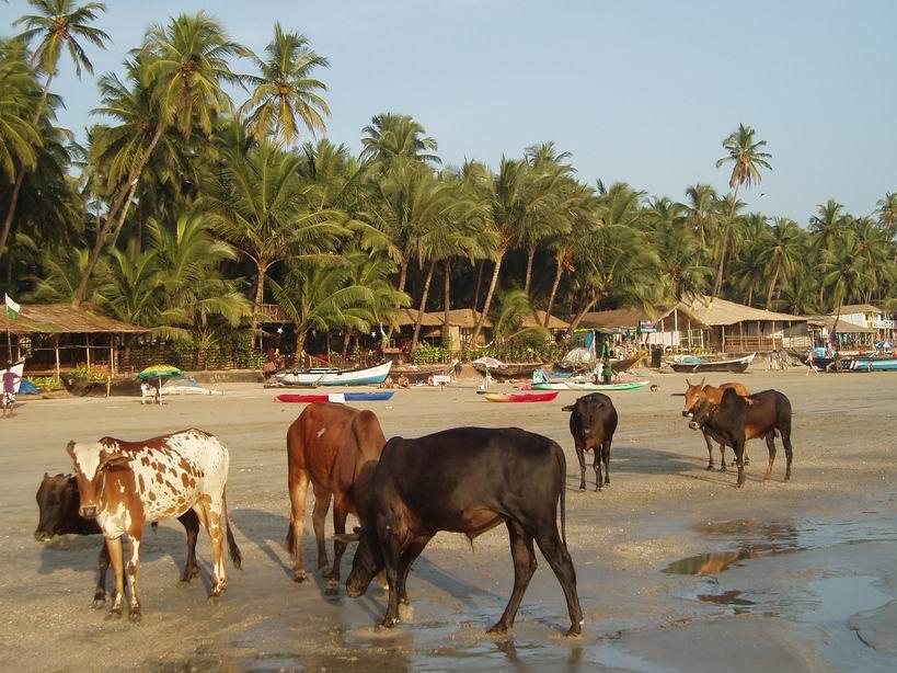 Vacas en la playa de Palolem