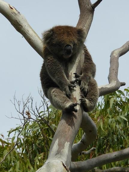 Koala colgado