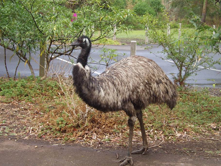 Emu, en Tower Hill