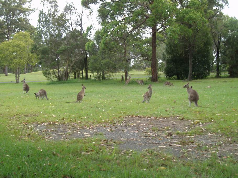Manada de canguros en Kempsey
