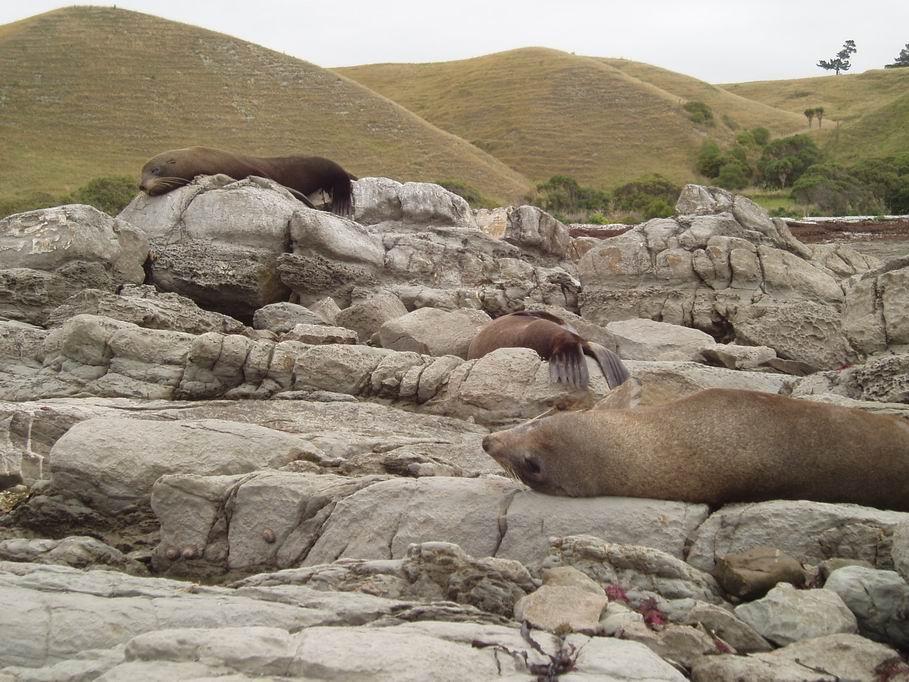 Focas durmiendo en playa de Kaikoura