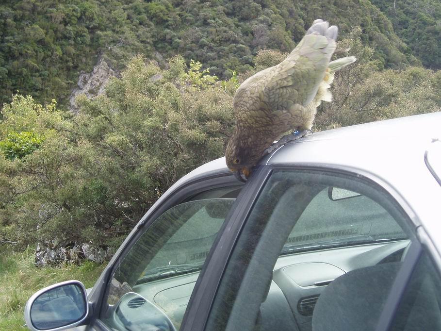 Kea hambriento en el techo de nuestro carro