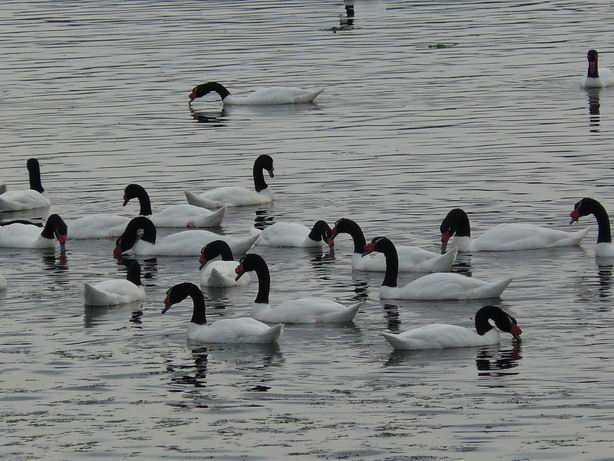 Cisnes cuello negro, Chiloé