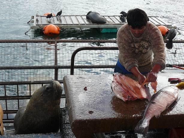 Leones marinos en mercado de Valdivia