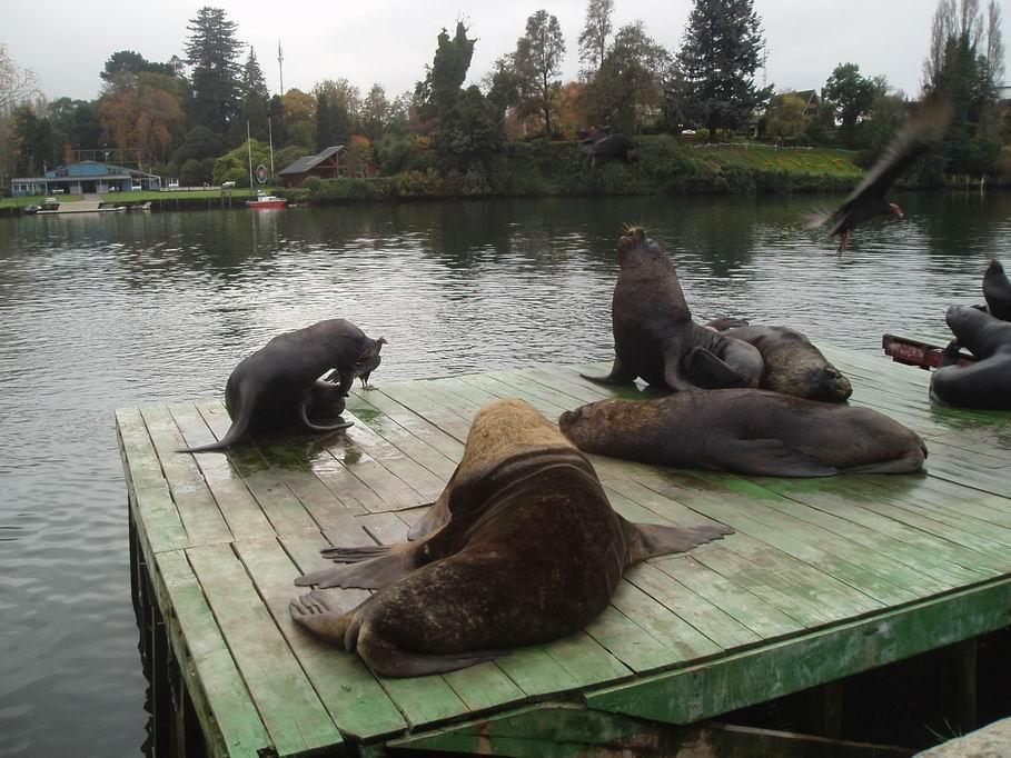Lobos marinos, en la rivera del rio Calle Calle en Valdivia