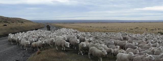 Ovejas en Tierra del Fuego
