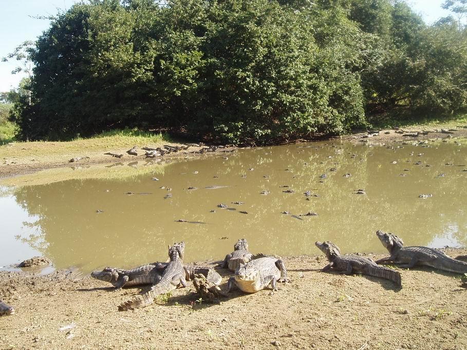 Caimanes en el Pantanal