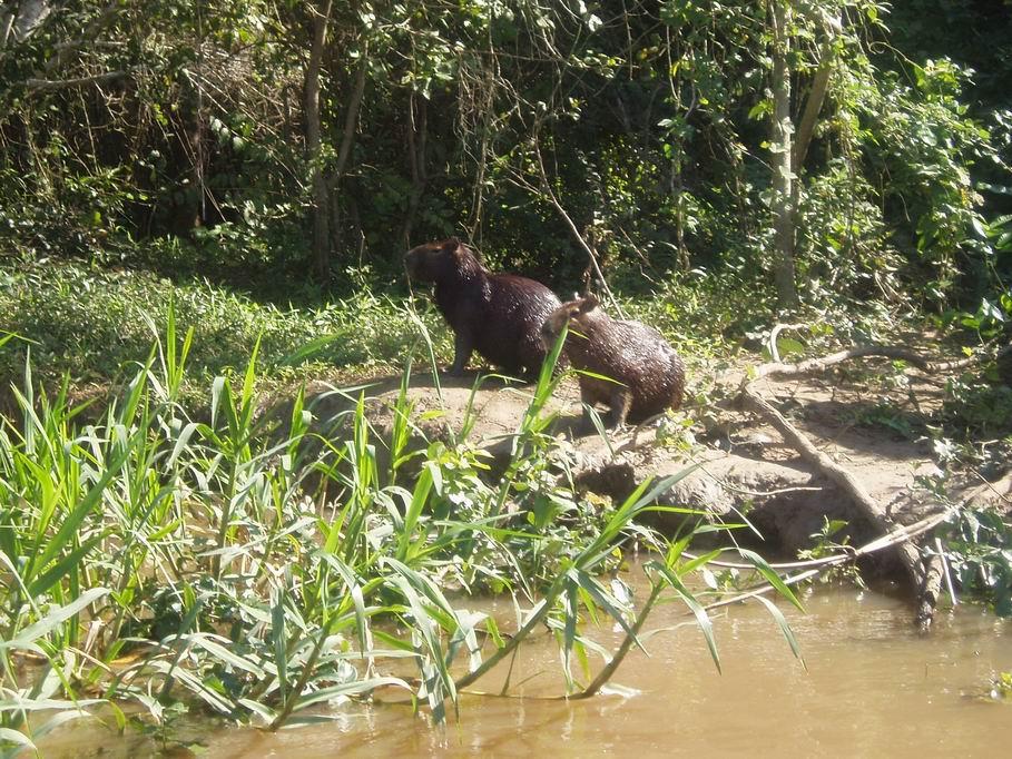 Chigüiros a orillas del río Miranda