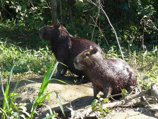 Capibaras en el Pantanal