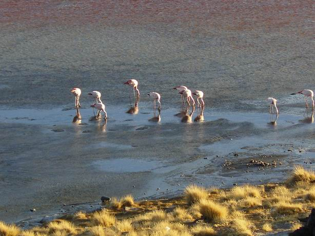 Flamencos en laguna colorada