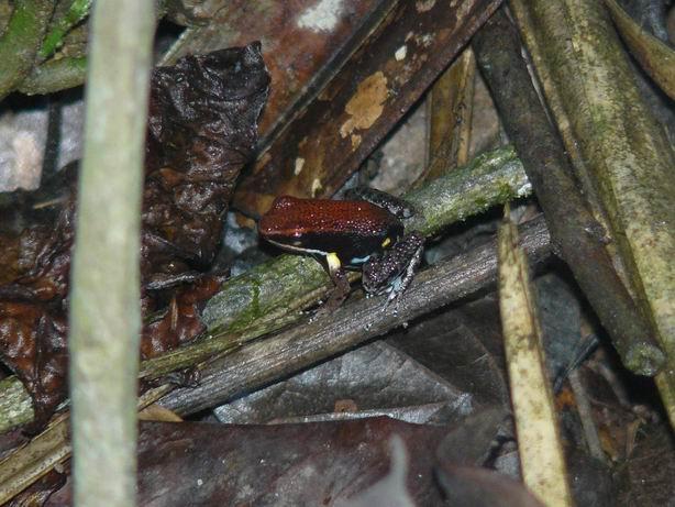 Dendrobates en el Amazonas
