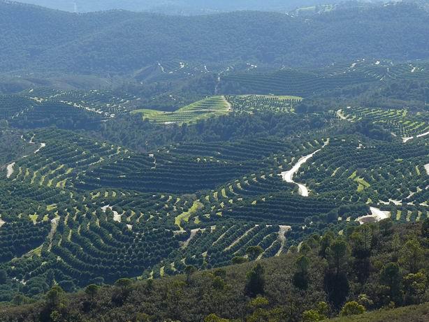 Vista de cultivos de naranjas, Nerva
