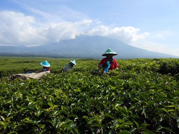Campos de te, frente al volcán Kerinci