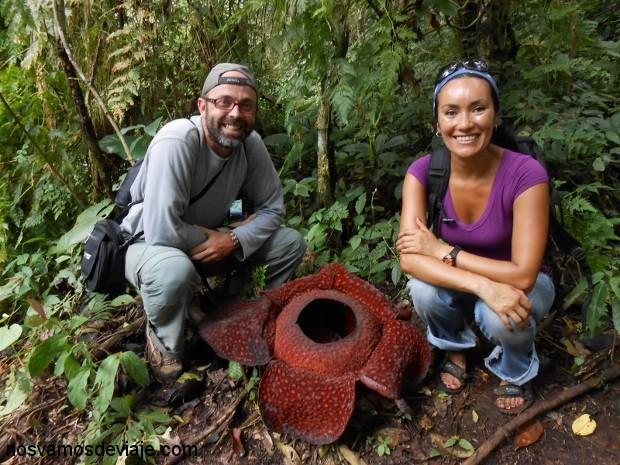Rafflesia Arnoldi, en la selva