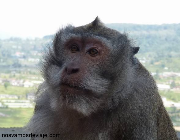 mono barbudo