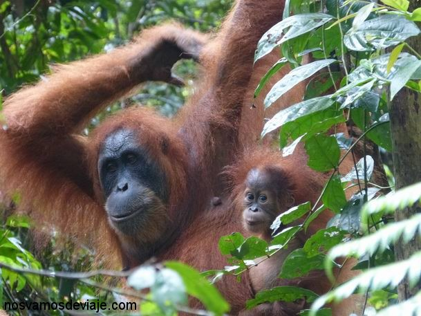 orangutan con cria