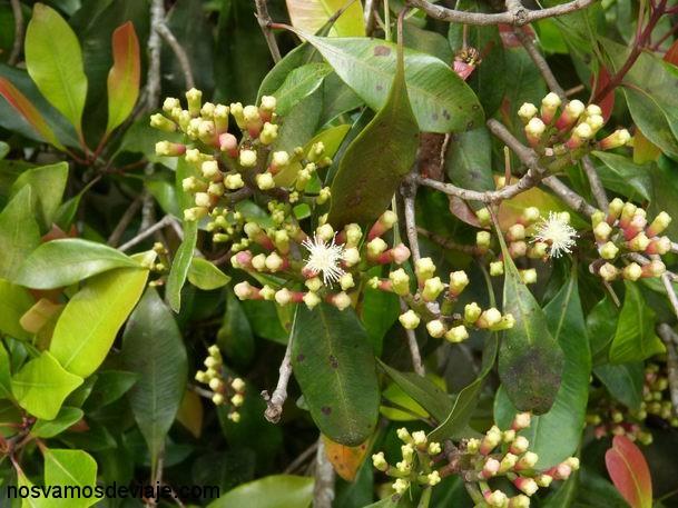 planta del clavo