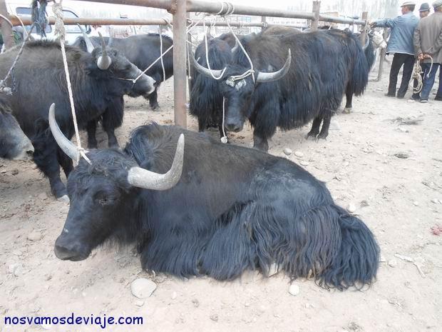 Yaks en el mercado de animales Kashgar