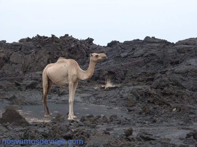 Camello y lava en el descenso