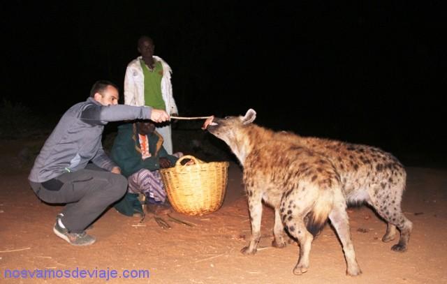 alimentando hienas