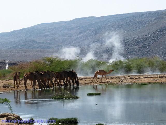 camellos Alolobed
