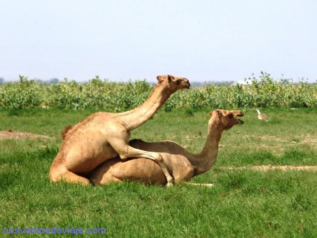 camellos intimidad