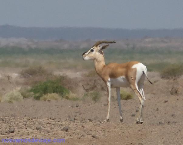 gacela 3 etiopia