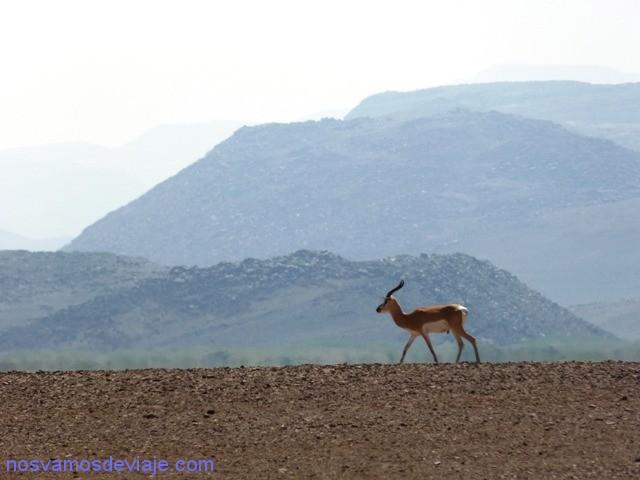 gacela2 etiopia