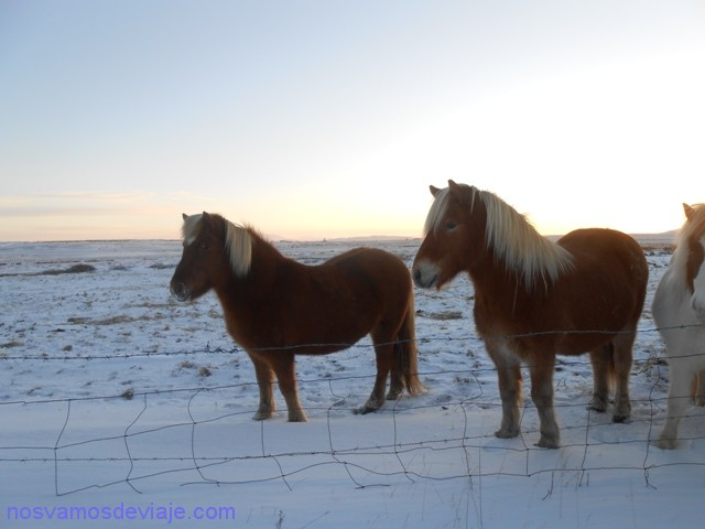 caballos-islandia