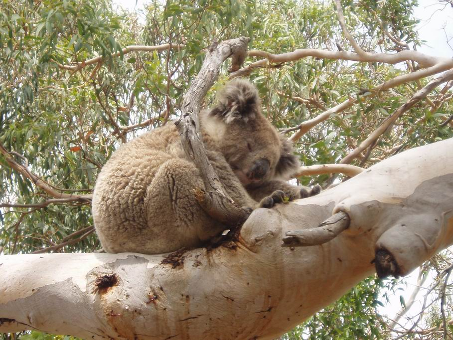 Koala dormitando en una rama de eucalipto