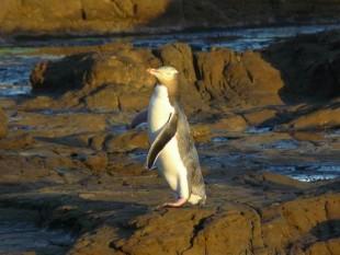 Pingüino de ojos amarillos