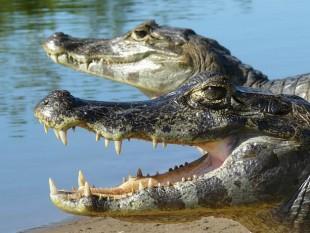 Jacarés en el Pantanal