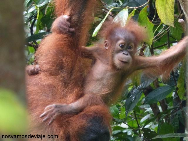 Orangután con su cría, Bukit Lawang